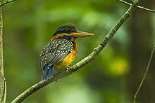 Rufous-collared Kingfisher - Thailand S4E3779.jpg
