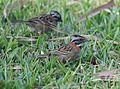 Rufous-collared Sparrow (25067546146).jpg