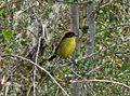 Rufous naped brushfinch. Atlapetes Latinuchus - Flickr - gailhampshire.jpg