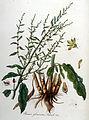 Rumex glomeratus — Flora Batava — Volume v9.jpg