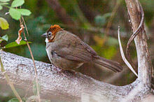 Rusty-crowned Ground-Sparrow (Melozone kieneri) (8079396250).jpg