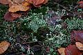 Ruzovsky vrch Cladonia fimbriata.jpg