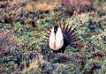 Sage-grouse (15735677866).jpg
