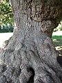 Saint-André-de-Bohon - L'arbre frottou, arbre remarquable (4).jpg