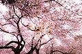 Sakura Kinuta Park (139250305).jpeg