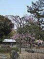 Sakura of Unomori park , 鵜の森公園の桜 - panoramio (1).jpg