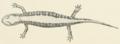 Salamandrella keyserlingii1.PNG