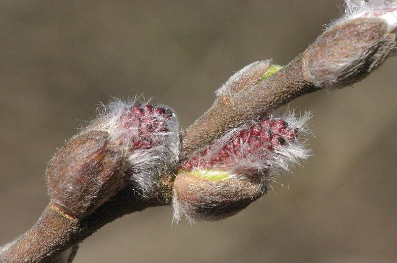 File:Salix myrsinifolia (Schwarz-Weide) IMG 5577.JPG