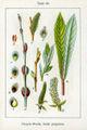 Salix purpurea Sturm25.jpg