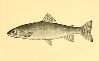 Silver trout species of fish