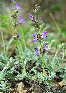 <i>Salvia canescens</i> species of plant
