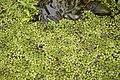 Salvinia auriculata 0169.jpg