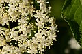 Sambucus nigra (7282552830).jpg