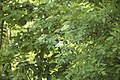 Sambucus nigra (Sureau noir).jpg