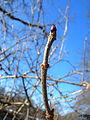 Sambucus nigra buds4.jpg