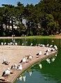 "San Francisco - Golden Gate Park ""Spreckles Pond - Seagull Hangout"" (1106540457).jpg"