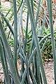 Sansevieria fischeri pm1.JPG