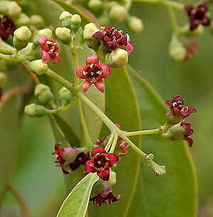 Santalum album - Flowers in Hyderabad, India.