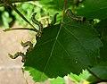 Sawfly larvae on silver birch 140701 (Tony Holkham).JPG