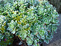 Saxifraga paniculata (Pyrenees ex) 2.JPG