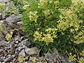 Saxifraga pedemontana subsp. prostii kz02.jpg