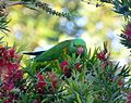 Scaly-breasted Lorikeet. Trichoglossus chlorolepidotus - Flickr - gailhampshire.jpg