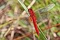 Scarlet Skimmer (male) - Crocothemis servilia, Long Pine Key, Everglades National Park, Homestead, Florida - 8260133383.jpg