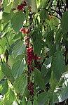 Schisandra chinensis 1.jpg
