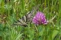 Schmetterling (6275559230).jpg
