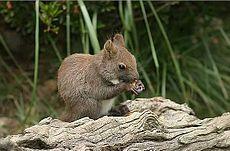 Hnědá forma veverky obecné