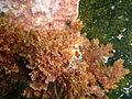 Seaweed at Lorry Bay PB012101.JPG