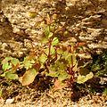 Seep Monkeyflower - Flickr - treegrow (1).jpg