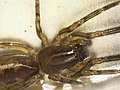 Segestria senoculata (36504286522).jpg