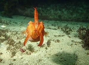 Cuttlefish - S. mestus swimming (Australia)