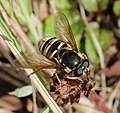 Sericomyia silentis (female) - Flickr - S. Rae.jpg