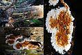 Serpula himantioides (GB= no common name, D= Wilder Hausschwamm, F= Mérule des maisons, Syn. Lèpre des maisons, NL= Dakloze huiszwam), causes brownrot in a fir forest NP Hoge Veluwe - panoramio.jpg