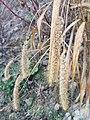 Setaria italica subsp. italica sl12.jpg