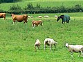 Sheep, cattle and a horse in a field near Blackrock - geograph.org.uk - 482659.jpg