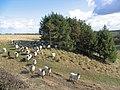 Sheep - geograph.org.uk - 357516.jpg