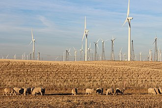 Shiloh wind power plant - Sheep graze near old and new turbines at Shiloh IV.