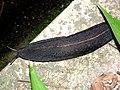 Shinning Black (8964626777).jpg