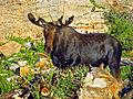 Shiras Bull at Cecret Lake c 07-25-12.JPG