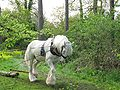 Shire horse.jpg