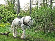 A gray horse with fully white hair coat, harnessed to a log, pulling it through a green forest