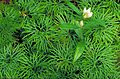 Showy gentian flower gentiana decora plant growing in moss.jpg