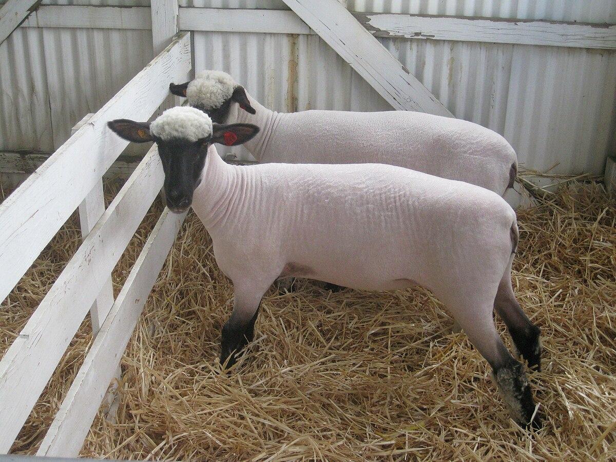 Shropshire sheep - Wikipedia