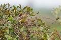 Sicalis luteola -Arroio Grande, Rio Grande do Sul, Brazil -female-8.jpg