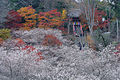 Siki-zakura.obara-toyotasi.jpg