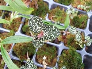 Orkidéer  Wikipedia