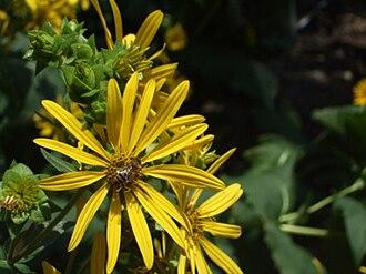 Silphium (genus) - Silphium integrifolium